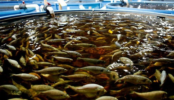 Zimbabwe: Fish Farming Pays Dividends in Mutasa