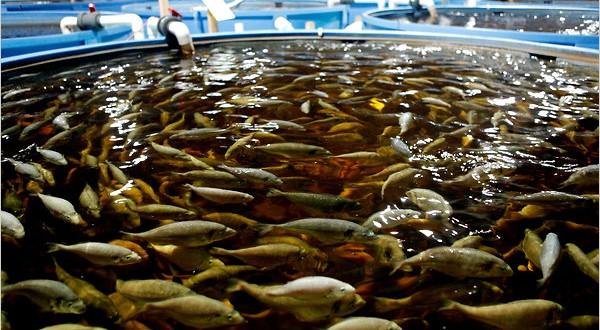 Fish-Farming-600x330